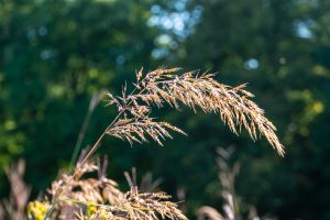 (1/4) Indian grass shines in the morning dew on Sept. 7. nature, grass, prairie, plant Photo: Marguerite Tonjes