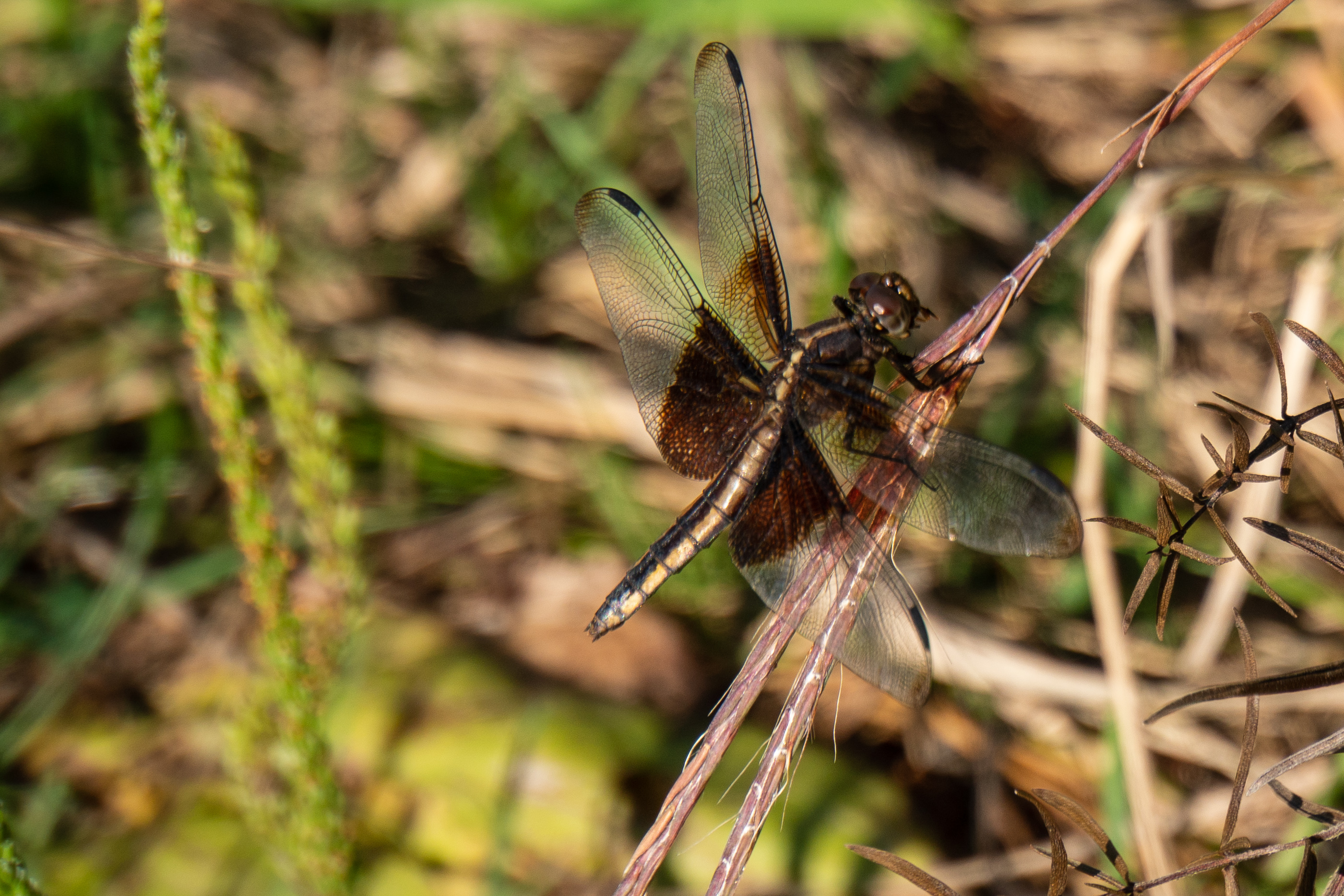 (3/4) A female widow skimmer dragonfly alights on a blade of grass. nature, wildlife, animal, insect, dragonfly Photo: Marguerite Tonjes
