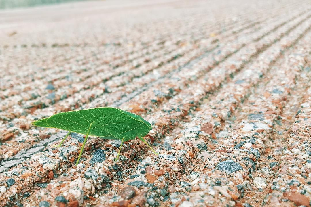 It's a member of the tettigoniidae family — a katydid. And it's impossibly leaflike. nature, wildlife, animal, insect, katydid Photo: Adam Bracero