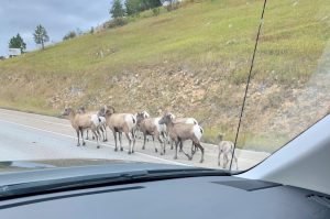 The photographer recently relocated Chicagoland to South Dakota for work on LBNF. Traffic jams there are a little different than they are in Illinois! nature, wildlife, animal, mammal, sheep, bighorn sheep, South Dakota Photo: Joe Pygott