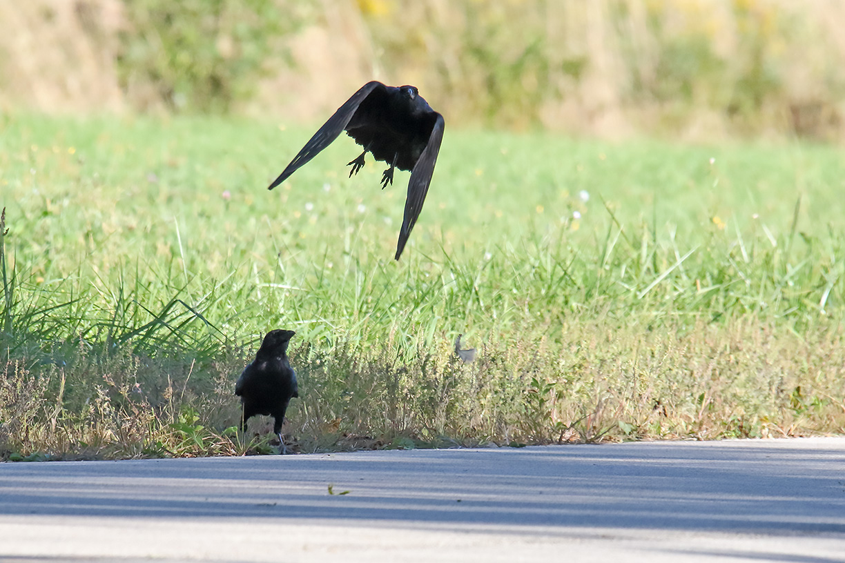 (3/3) A pair of American crows get ready to fly from the bison pasture. nature, wildlife, animal, bird, American crow Photo: Gordon Garcia