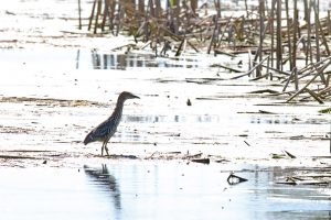 (2/3) Also wading through the A.E. Sea wetlands is an immature black-crowned night heron. nature, wildlife, animal, bird, black-crowned night heron Photo: Gordon Garcia