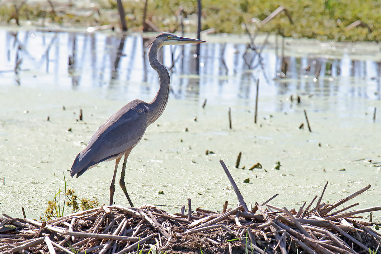 (1/3) A great blue heron walks the wetlands on north side of A.E. sea on Sept. 26. nature, wildlife, animal, bird, great blue heron, wetland Photo: Gordon Garcia