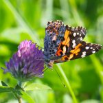 (1/3) A painted lady butterfly alights on some clover on the hiking path between Lake Law and A.E. Sea on Sept. 26. nature, wildlife, animal, insect, buttefly, painted lady butterfly, plant, flower, clover Photo: Gordon Garcia