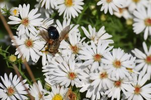 (2/3) Aster provides a landing pad for a tachinid fly in the prairie on north side of Pine Street. nature, wildlife, animal, insect, fly, tachinid fly, plant, flower, aster Photo: Gordon Garcia