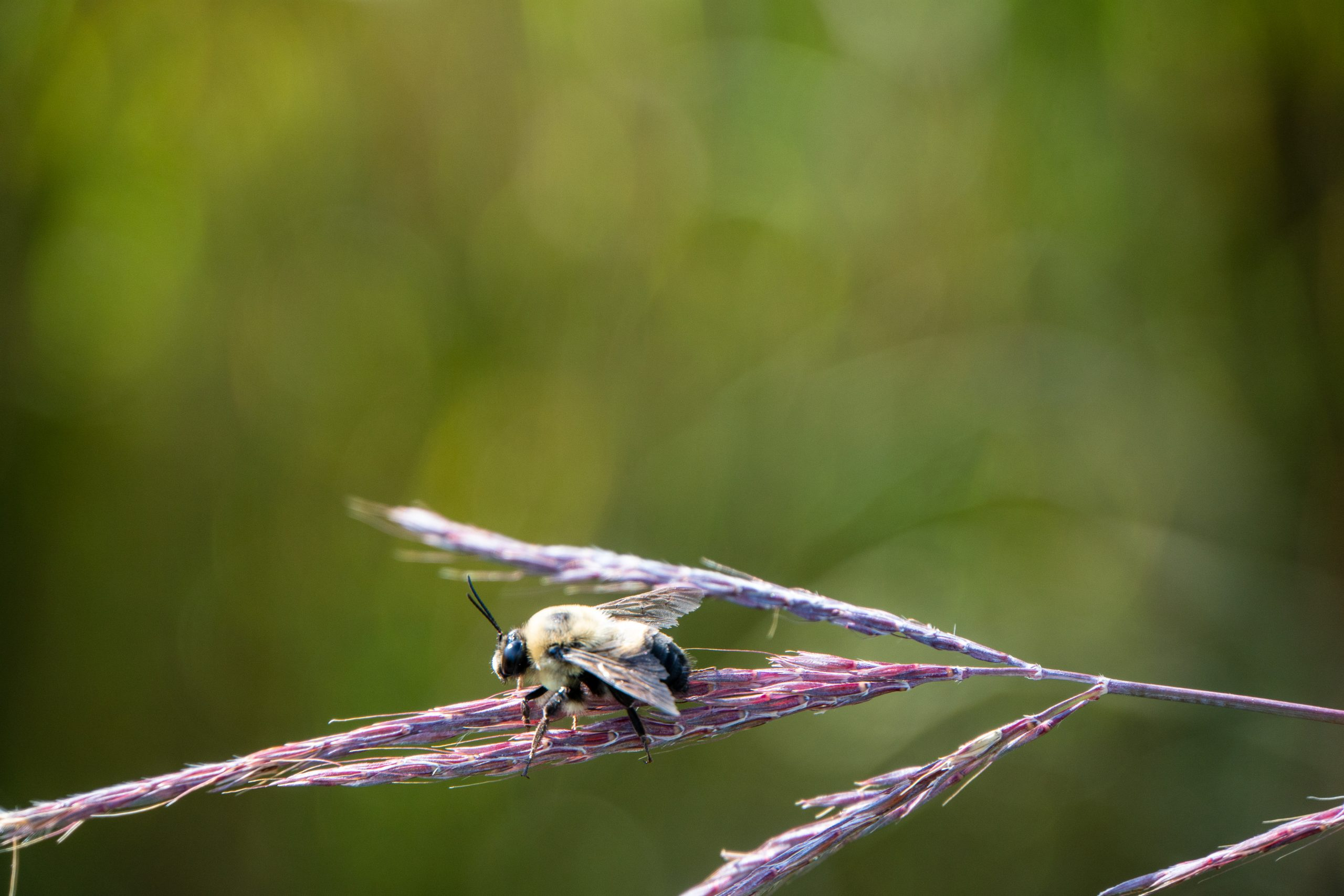 (4/4) Well hello, little bumblebee. Please enjoy our prairie. nature, wildlife, animal, insect, bee Photo: Marguerite Tonjes