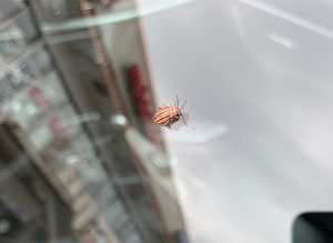 This colorful cucumber beetle appeared on the photographer's car window outside the SBN-ND building. nature, wildlife, animal, insect, beetle, cucumber beetle Photo: William Badgett