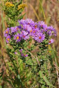 (3/3) This New England aster hopes for a winged, six-legged visitor. nature, wildlife, plant, flower, aster, New England aster Photo: Gordon Garcia