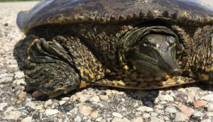 (3/3) And here's a closer-up. nature, wildlife, animal, reptile, turtle Photo: Chris Ader