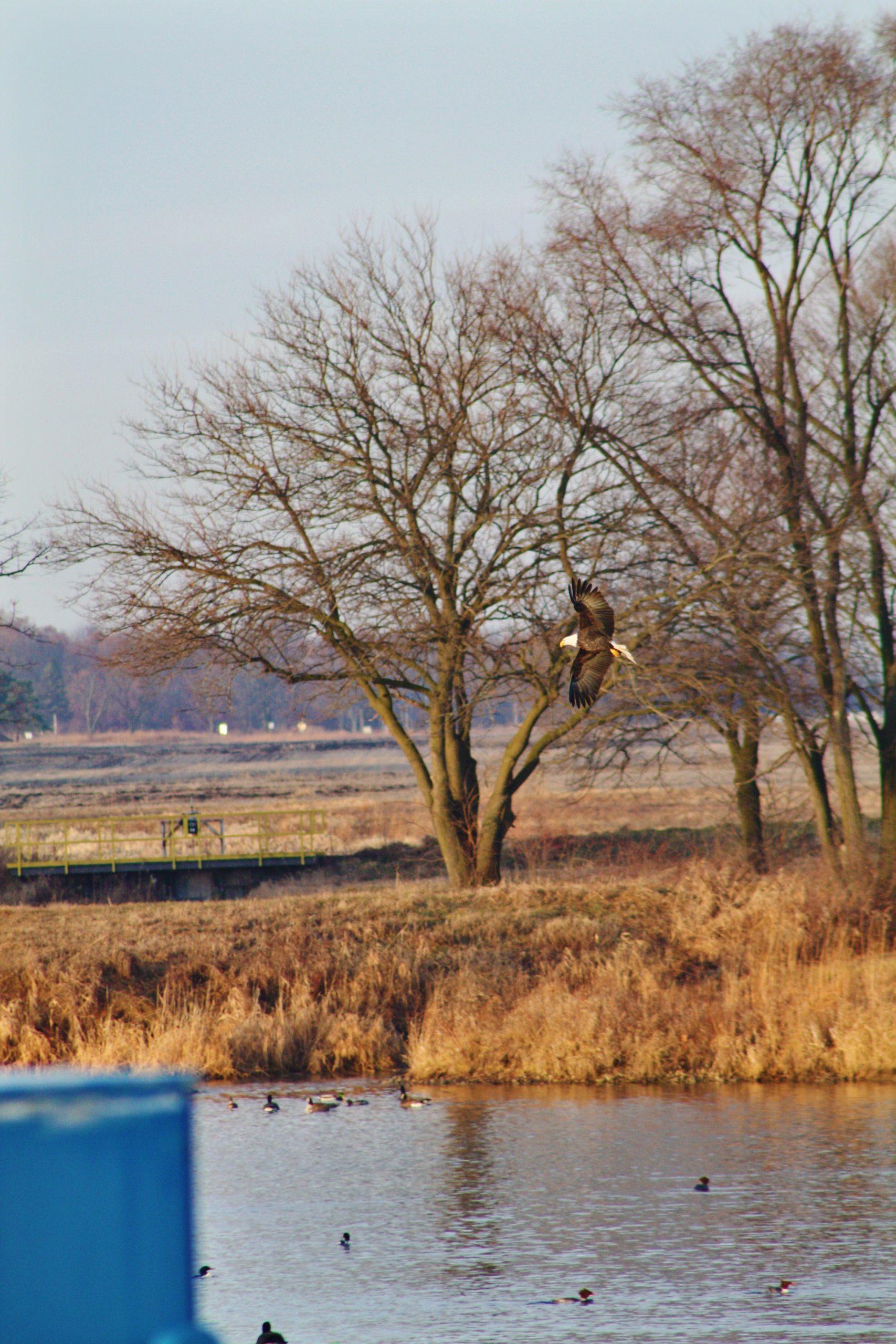 (1/4) Two bald eagles were fishing at Casey's Pond just after sunrise on Dec. 26, 2019. nature, wildlife, animal, bird, eagle Photo: Hunter Hall
