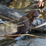 A mink enjoys a warm winter day. nature, wildlife, animal, mammal, mink Photo: Brian Chase