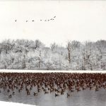 Throwback Thursday: It's a glimpse of a gaggle of geese in the pond and a skein in the sky from years ago. nature, wildlife, animal, bird, goose, winter, woods, tree Photo: Ed Dijak