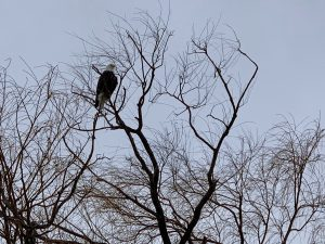 (1/3) This eagle was spotted on Jan. 28 on a tree by Road D, near the bison pasture. nature, wildlife, animal, bird, eagle Photo: Bruno Coimbra