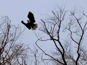 (2/3) It flies away. Perhaps it doesn't like the camera very much. nature, wildlife, animal, bird, eagle Photo: Bruno Coimbra