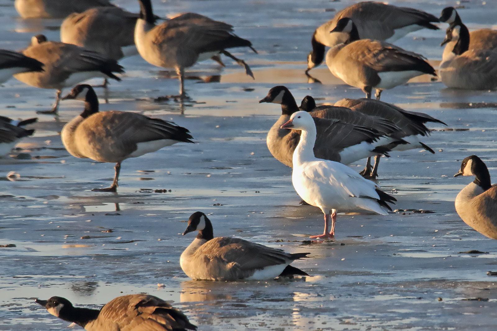 (1/2) A snow goose hangs out with Canada geese at Casey's Pond on snow goose at Fermilab on Dec. 22, 2019. nature, wildlife, animal, bird, goose, snow goose, Canada goose Photo: Gordon Garcia