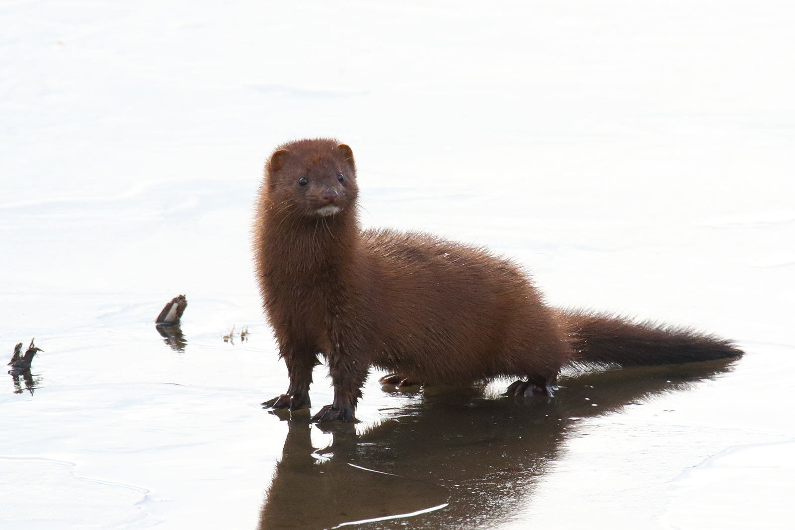 This American mink was spotted on the north end of the A.E. Sea. nature, wildlife, animal, mammal, mink Photo: Gordon Garcia