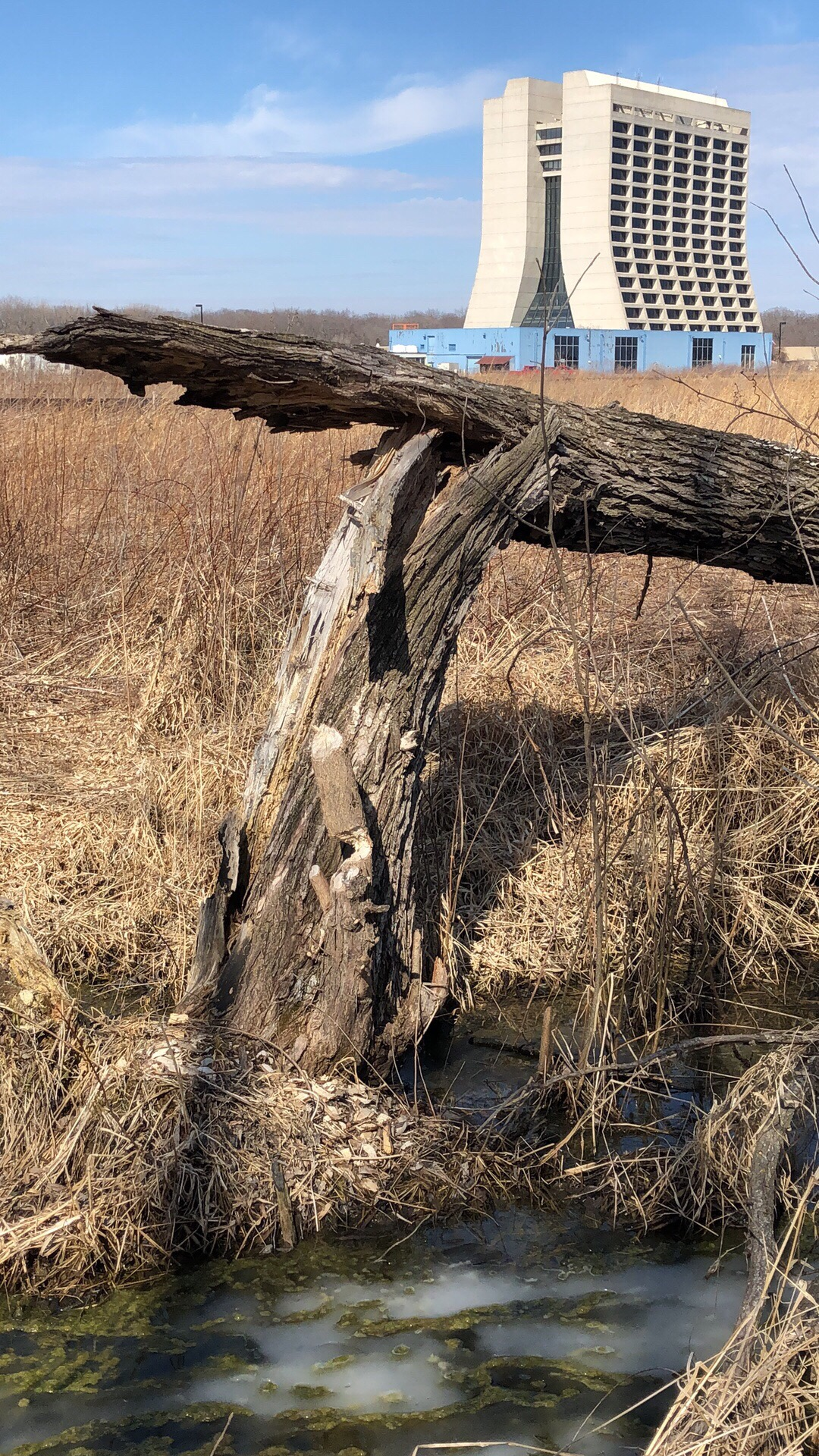 A beaver has been busy at work here in the Tevatron infield. And in Wilson Hall, Fermilab employees are busy at work, too. nature, landscape, tree, grass, building, Wilson Hall, sky Photo: Chris Ader