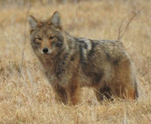 """On a March afternoon, three coyotes were """"working"""" the field near DZero. One of them, pictured here, seems to spot the photographer. nature, wildlife, animal, mammal, coyote Photo: Ed Dijak"""