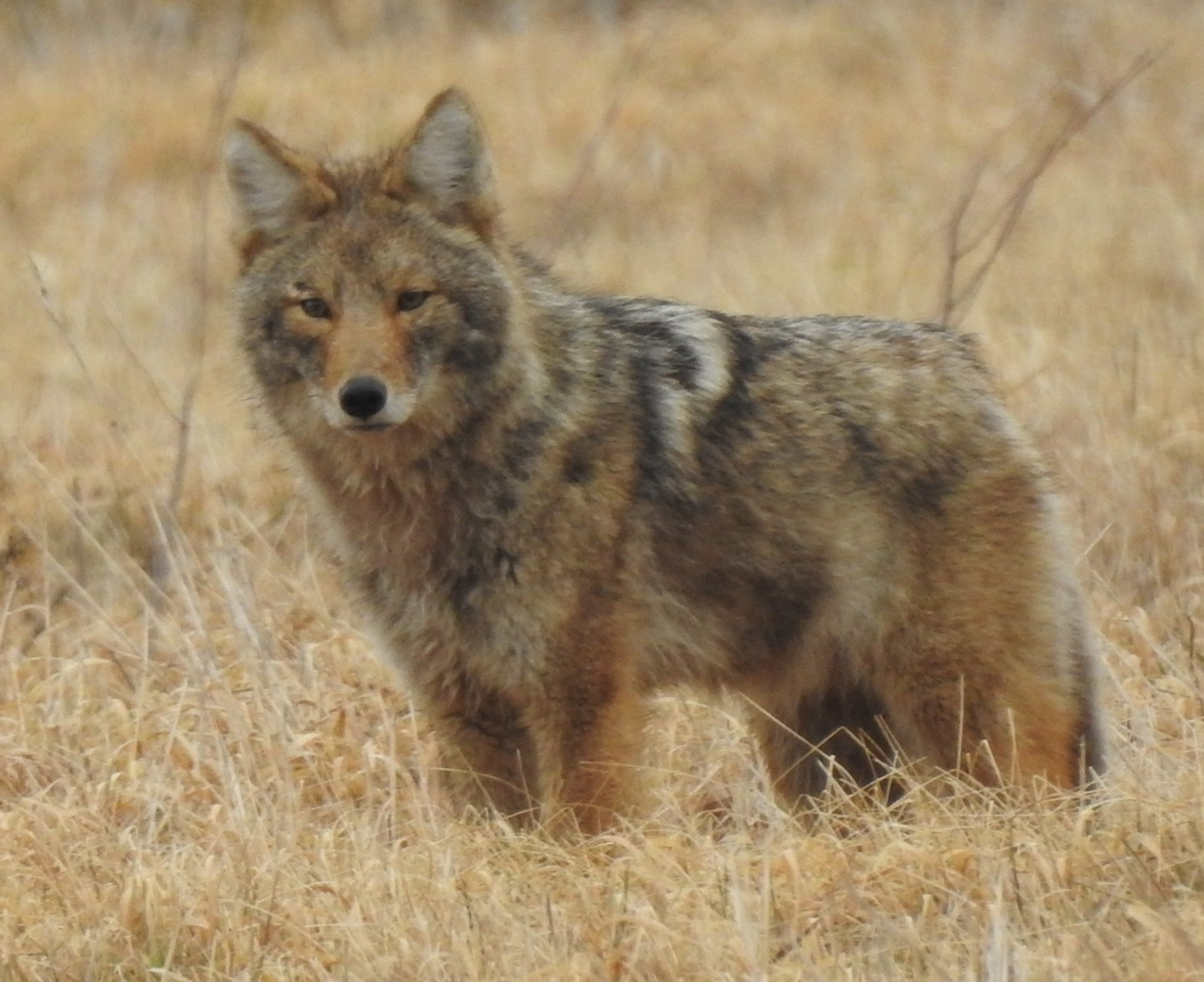 "On a March afternoon, three coyotes were ""working"" the field near DZero. One of them, pictured here, seems to spot the photographer. nature, wildlife, animal, mammal, coyote Photo: Ed Dijak"