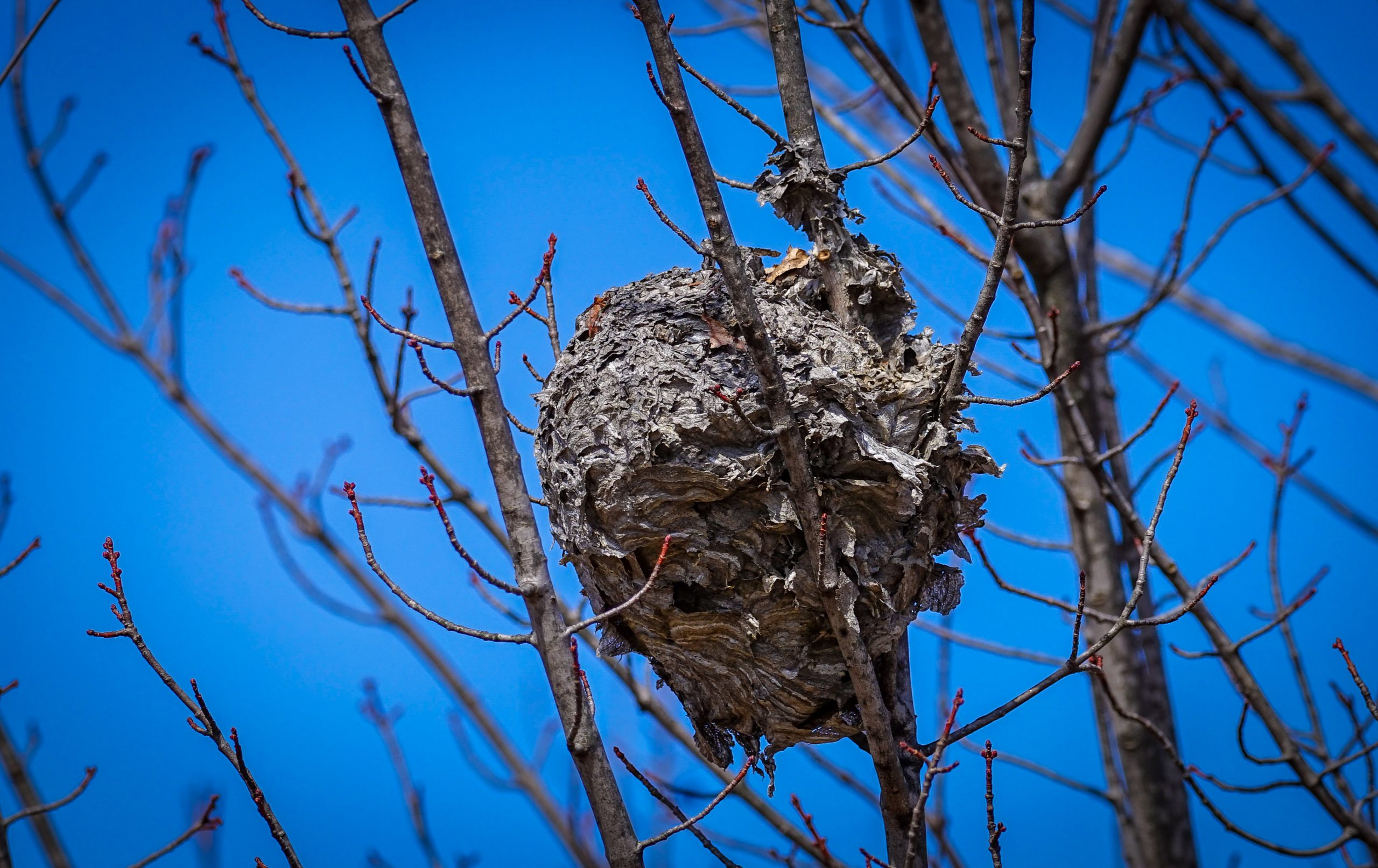 This photo was taken on March 8 at the Feynman Computing Center near the parking lot. The hornet nest was later spotted on the ground, after the weather likely knocked it out of the tree. nature, wildlife, animal, insect, hornet, tree, plant Photo: Greg Cisko
