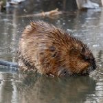A muskrat stands on the ice on the north end of the A.E. Sea on Feb. 27. nature, wildlife, animal, mammal, muskrat, water Photo: Gordon Garcia
