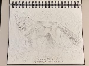 A recent coyote Photo of the Day triggered the artist's memory another photo, published in the former Fermilab Today in 2007, by Greg Vogel. It inspired this quick sketch way back then. Hey kids, get out your colored pencils! art, wildlife, animal, mammal, coyote Drawing: Michael Tartaglia