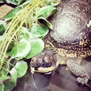 At the 2019 Earth Day Fair, the Willowbrook Wildlife Center presented a Blanding's turtle, which is listed as endangered by the state of Illinois. nature, wildlife, animal, reptile, turtle, Blanding's turtle Photo: Bridget Iverson
