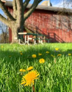The wildflowers near Sauk Circle in Fermilab Village, in front of Anderson Barn, signal that spring is in the air. nature, landscape, building, barn, flower, plant, spring Photo: Sudeshna Ganguly