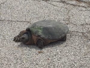 On May 4, this guy had the entire Wilson Hall west parking lot to himself. nature, wildlife, animal, turtle, reptile Photo: Scott Crowell