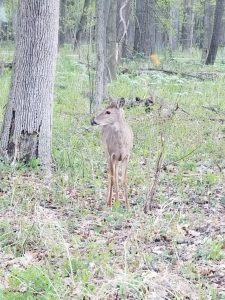 One could say she's just a babe in the woods. nature, wildlife, mammal, deer, animal, woods, tree Photo: Lori Limberg