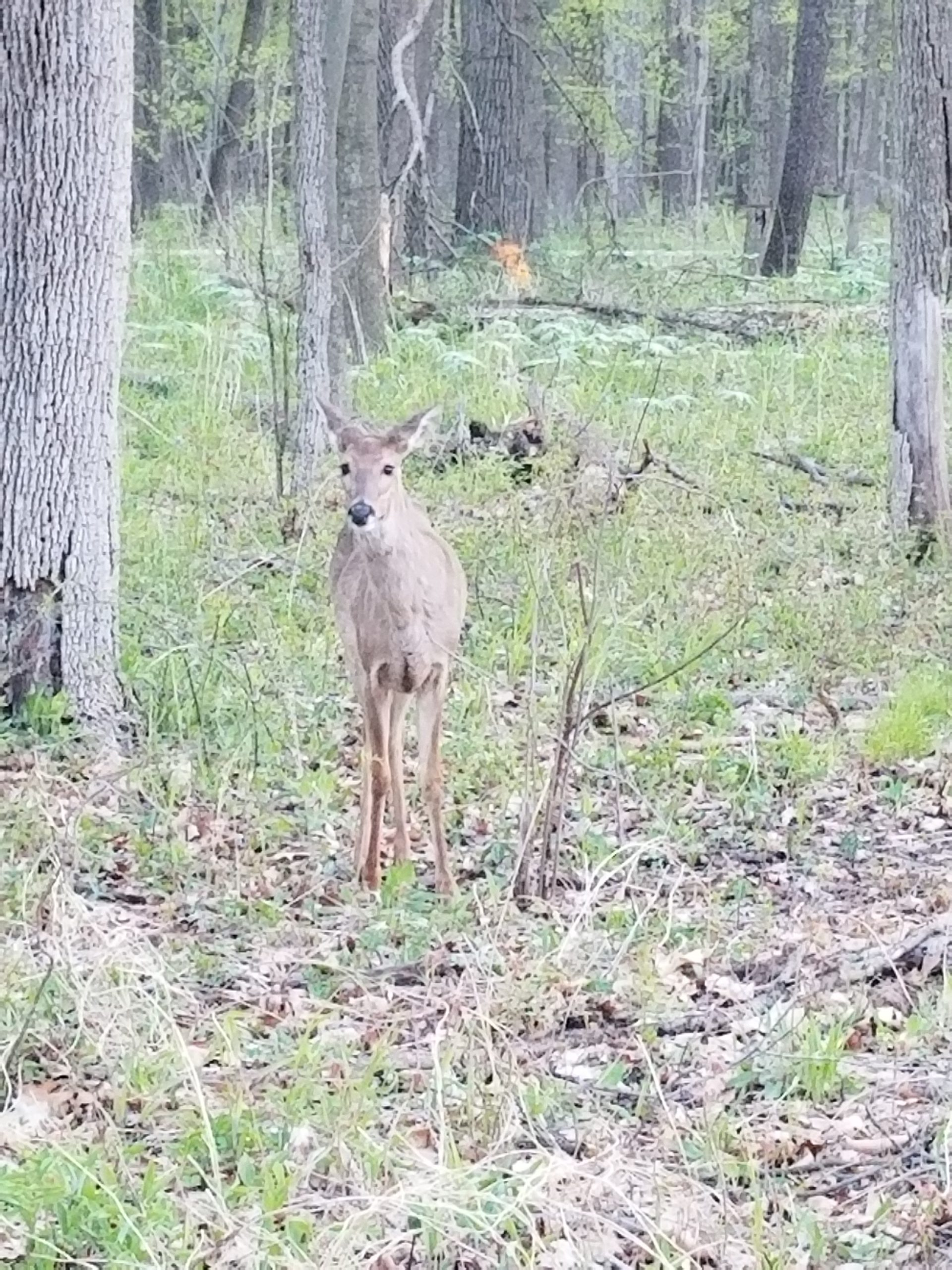 This little doe was spotted in the woods on Pine Street. nature, wildlife, animal, mammal, deer, woods, tree, landscape Photo: Lori Limberg