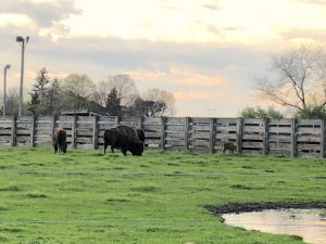 The evening of May 1 was a beautiful one to see the Fermilab herd's first baby bison. nature, wildlife, animal, mammal, bison, landscape, barn, building Photo: Maria Martinez Casales