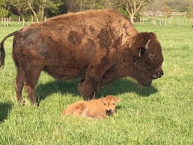 Momma and baby enjoy the sun. nature, wildlife, animal, bison, mammal Photo: Kathy Flores