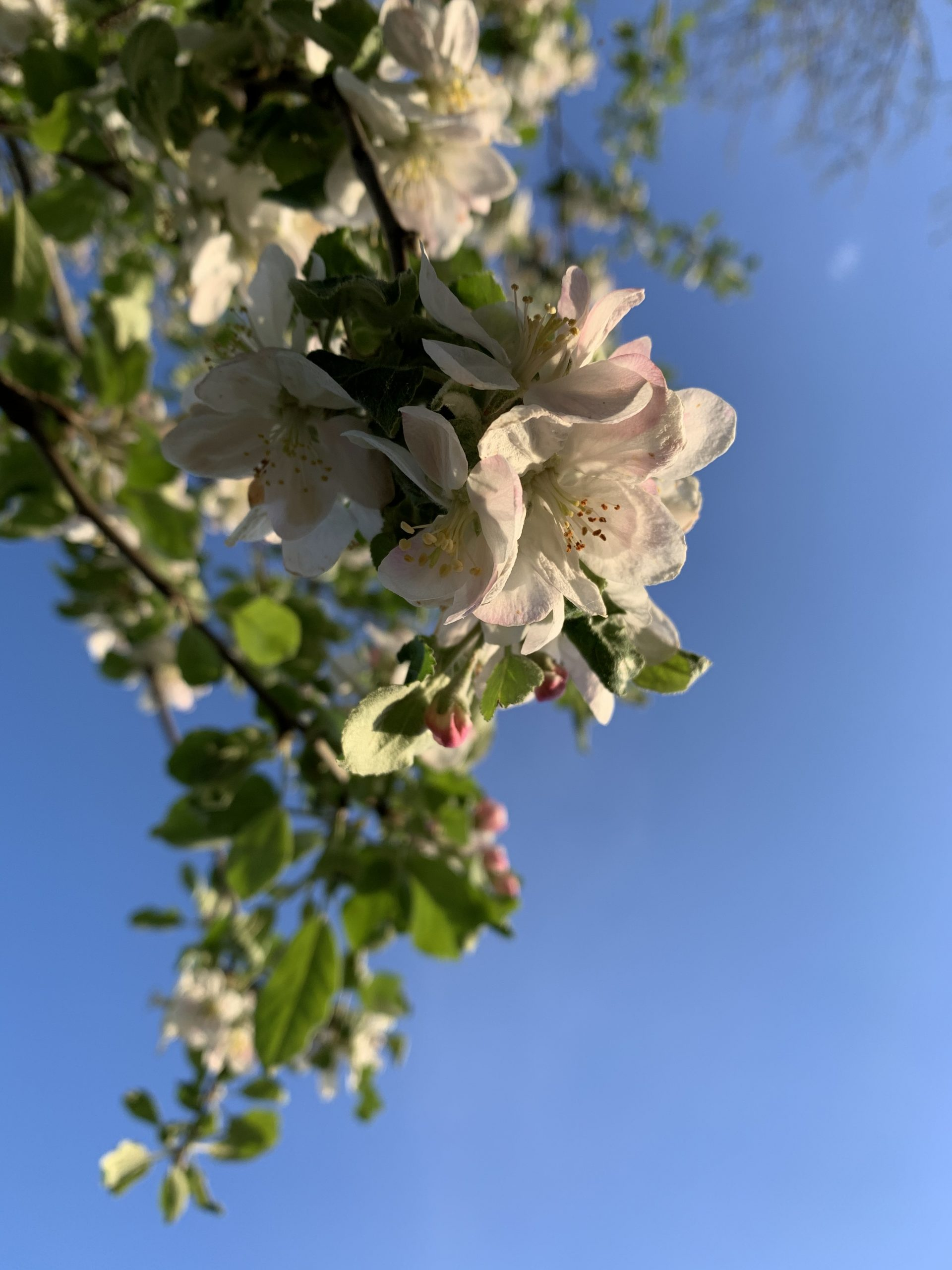 An apple tree in the Fermilab Village is in full bloom. nature, plant, tree, flower, apple Photo: Sudeshna Ganguly