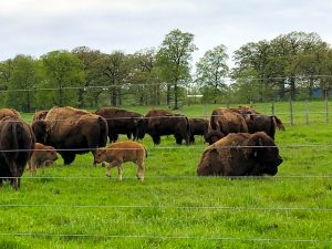 Baby bison hang out near the fence on May 21. nature, wildlife, animal, mammal, bison Photo: Maria Martinez Casales