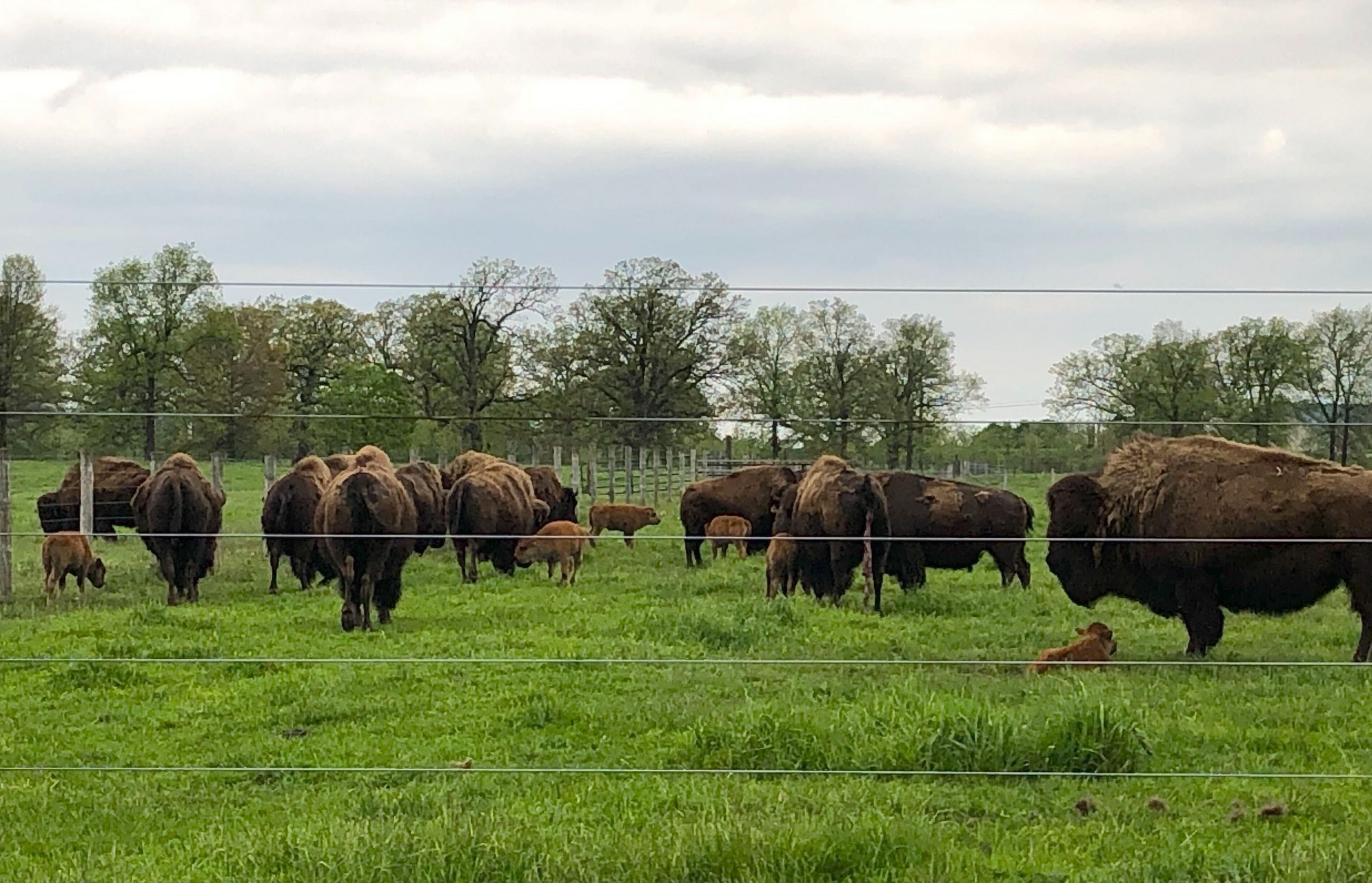 It's a beautiful day for bison. nature, wildlife, animal, mammal, bison Photo: Maria Martinez Casales