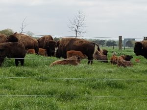 Grazing and napping ... what a life! nature, landscape, wildlife, animal, mammal, bison Photo: Kathy Flores