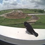A red-winged blackbird looks over the LBNF construction activities. LBNF, construction, Long-Baseline Neutrino Facility, nature, wildlife, animal, bird, red-winged blackbird Photo: Lori Limberg