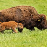 Bison mother and calf go for a walk on Friday, May 15. bison, animal, mammal, nature, wildlife Photo: Marty Murphy