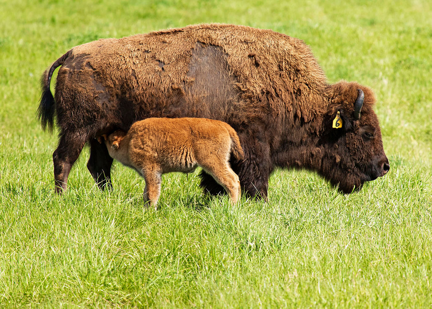 Mother nurses her child. nature, wildlife, animal, mammal, bison Photo: Marty Murphy