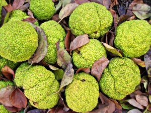 Osage orange trees are a type of mulberry that grow at Fermilab and produce large, vibrantly green fruit the size of softballs that were once likely consumed by mastodons but now go largely uneaten. Photo: CameliaTWU