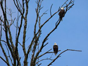 Two eagles keep watch on a Friday in May. nature, wildlife, animal, bird, eagle Photo: Marty Murphy