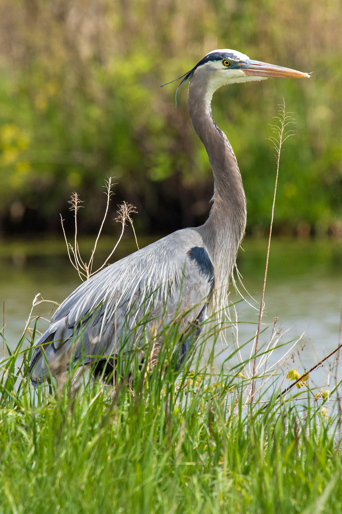 A great blue heron makes an appearance on May 15. nature, wildlife, animal, bird, great blue heron Photo: Marty Murphy