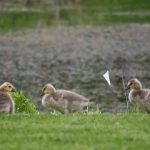 Goslings hang out at the pond near the day care center in May. nature, wildlife, animal, bird, goose, gosling, pond, water Photo: Maria Emilia Ruiz