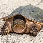 A snapping turtle sits stodgily on the Fermilab pavement on May 15. nature, wildlife, animal, reptile, turtle, snapping turtle Photo: Marty Murphy