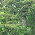 A bald eagle relaxes in the lab's wonderful woods. nature, wildlife, animal, bird, eagle Photo: Tony Busch
