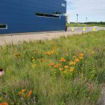 Pale purple cone flower, purple prairie clover and butterfly weed are some of the native prairie plants currently flowering in front of the IARC building. nature, landscape, IARC, flower, prairie, pale purple cone flower, plant, purple prairie clover, butterfly weed Photo: Jacques Hooymans