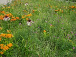 Up close: pale purple cone flower, purple prairie clover and butterfly weed. Photo: Jacques Hooymans