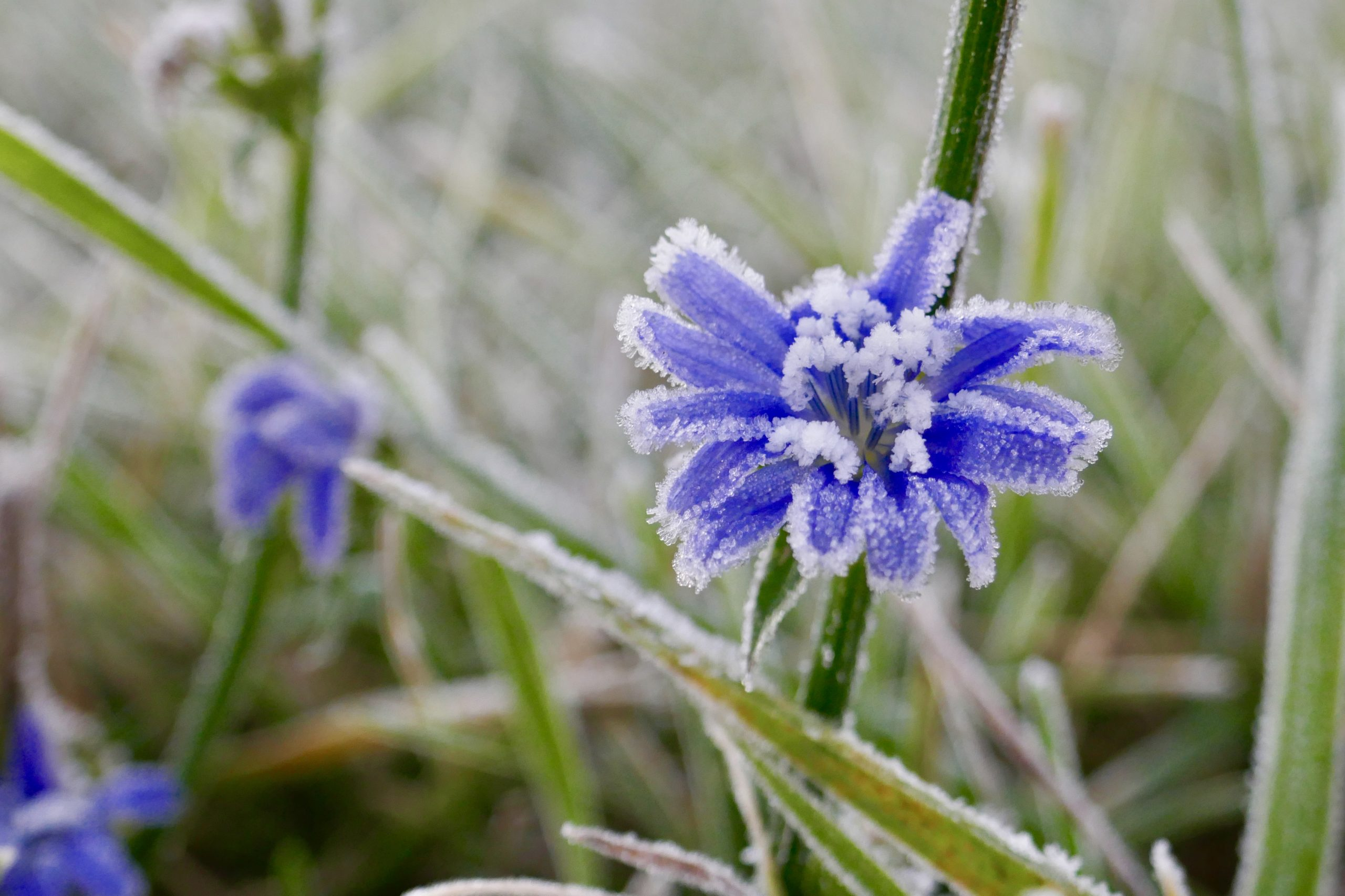 Throwback Thursday to some frosty days at Fermilab. These frosted flowers are wild bachelor buttons. nature, plant, flower, wildflower, bachelor button Photo: Leticia Shaddix