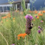 Can you spot the other two little visitors on this purple prairie clover who are respectfully social distancing? This scene was captured outside IARC. nature, wildlife, landscape, animal, insect, bee, flower, purple prairie clover Photo: Charles Thangaraj
